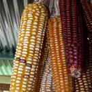 corn research uc davis