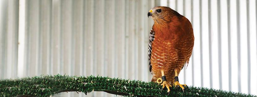 Red-shouldered hawk standing on a pole