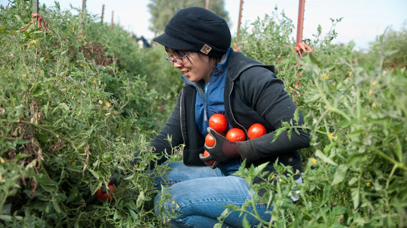 Student and pupils harvests tomatoes.